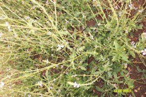 ורבנה רפואית (Verbena officinalis)- צמח משקם עצבי ומטפל בדיכאון. באדיבות פרץ גן, על-עלים: מרכז לגידול, יבוא ושיווק צמחי מרפא ותבלין http://www.al-alim.co.il/