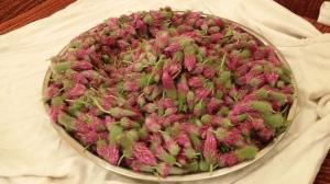 פרחי תלתן ארגמן במגש לאחר ליקוט בכרמל: גם מאזנים הורמונלית וגם מקדמים ניקוז רעלים מהגוף