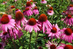 Echinacea boost (Echinacea purpurea קיפודנית ארגמנית) באדיבות פרץ גן- עלעלים