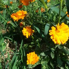 ציפורן חתול תרבותית (Calendula officinalis) מפחיתה הפרשות מבלוטת החלב